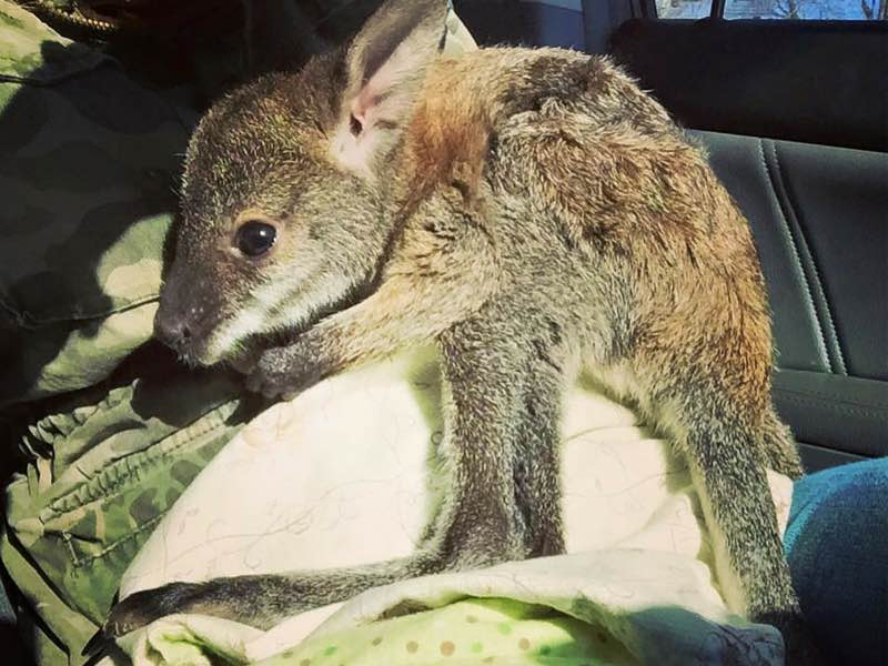 Joey-Wallaby